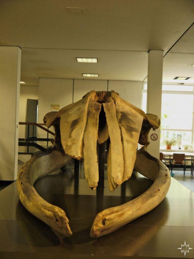 Schädel eines Finnwals