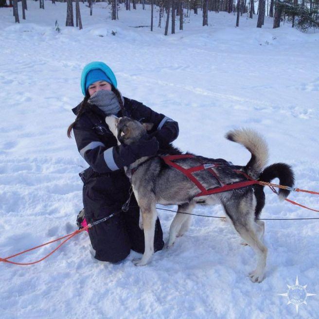 husky-inari-finnland-schlittenhund.jpg