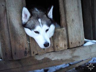 schlittenhund-finnland-husky-arktis
