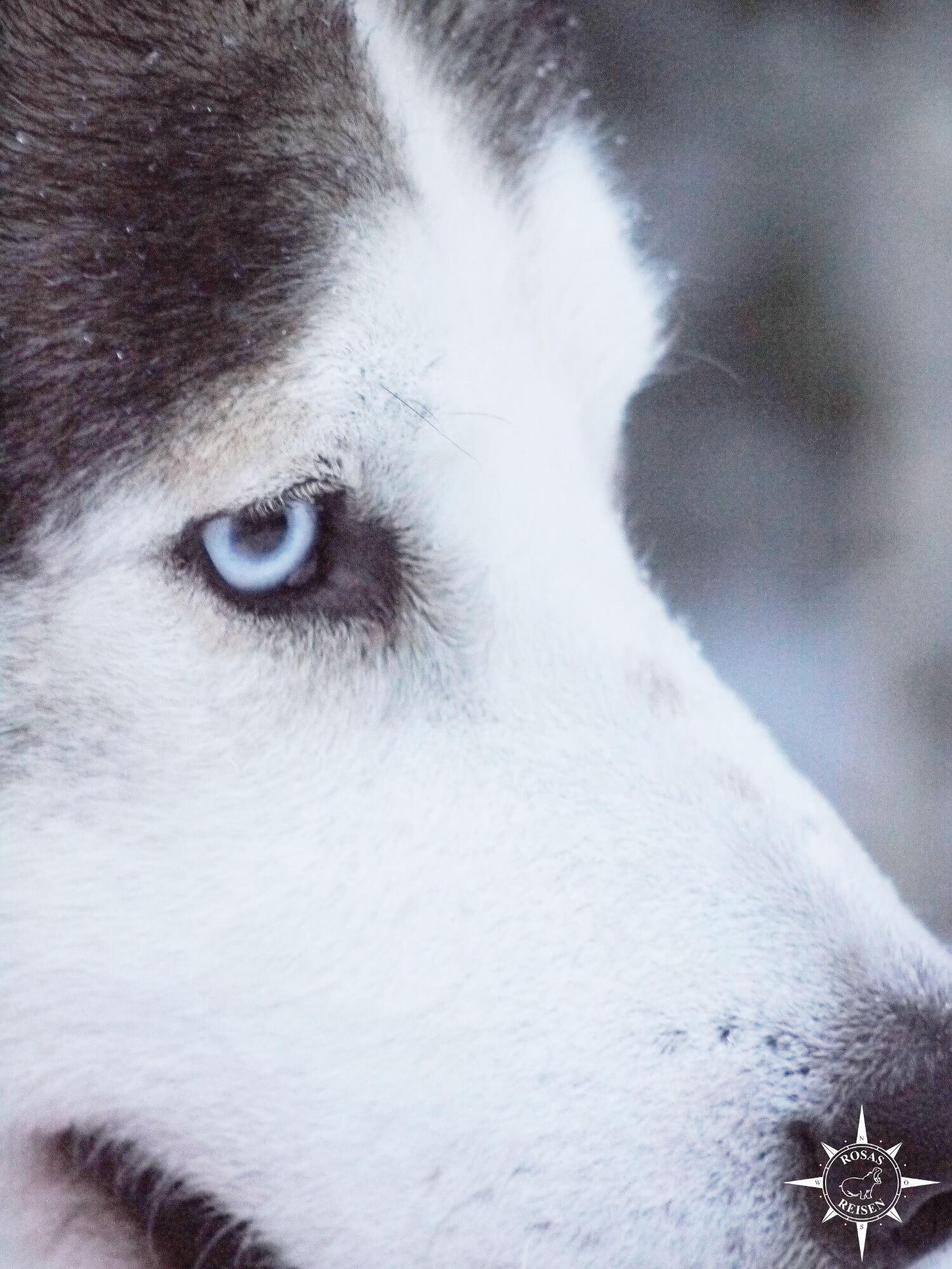 Rosas-Reisen-Farmstay-Finnland-Auslandsaufenthalt-Schlittenhund