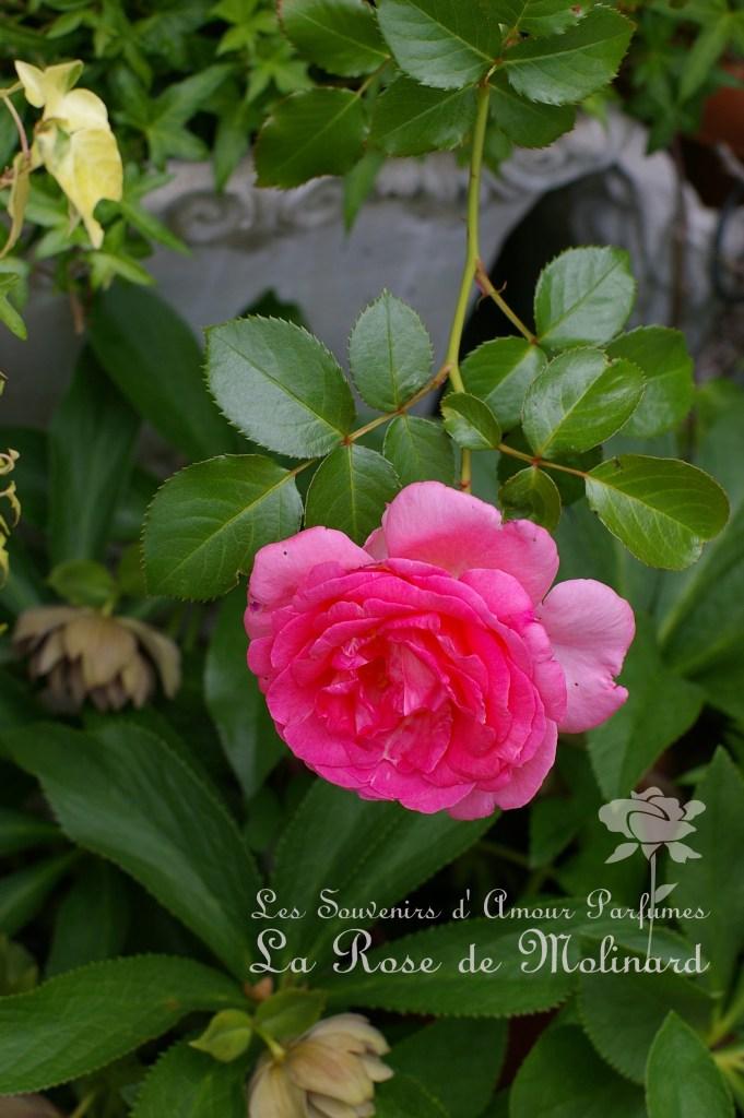 La Rose de Molinard~ラ・ローズ・ドゥ・モリナール~