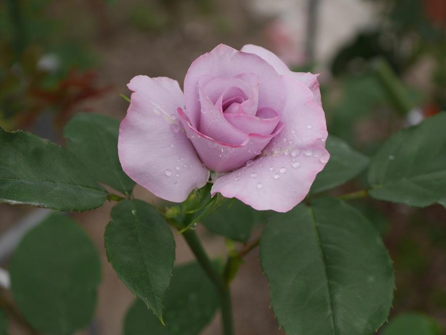 バラ「ディオレサンス」の5分咲き