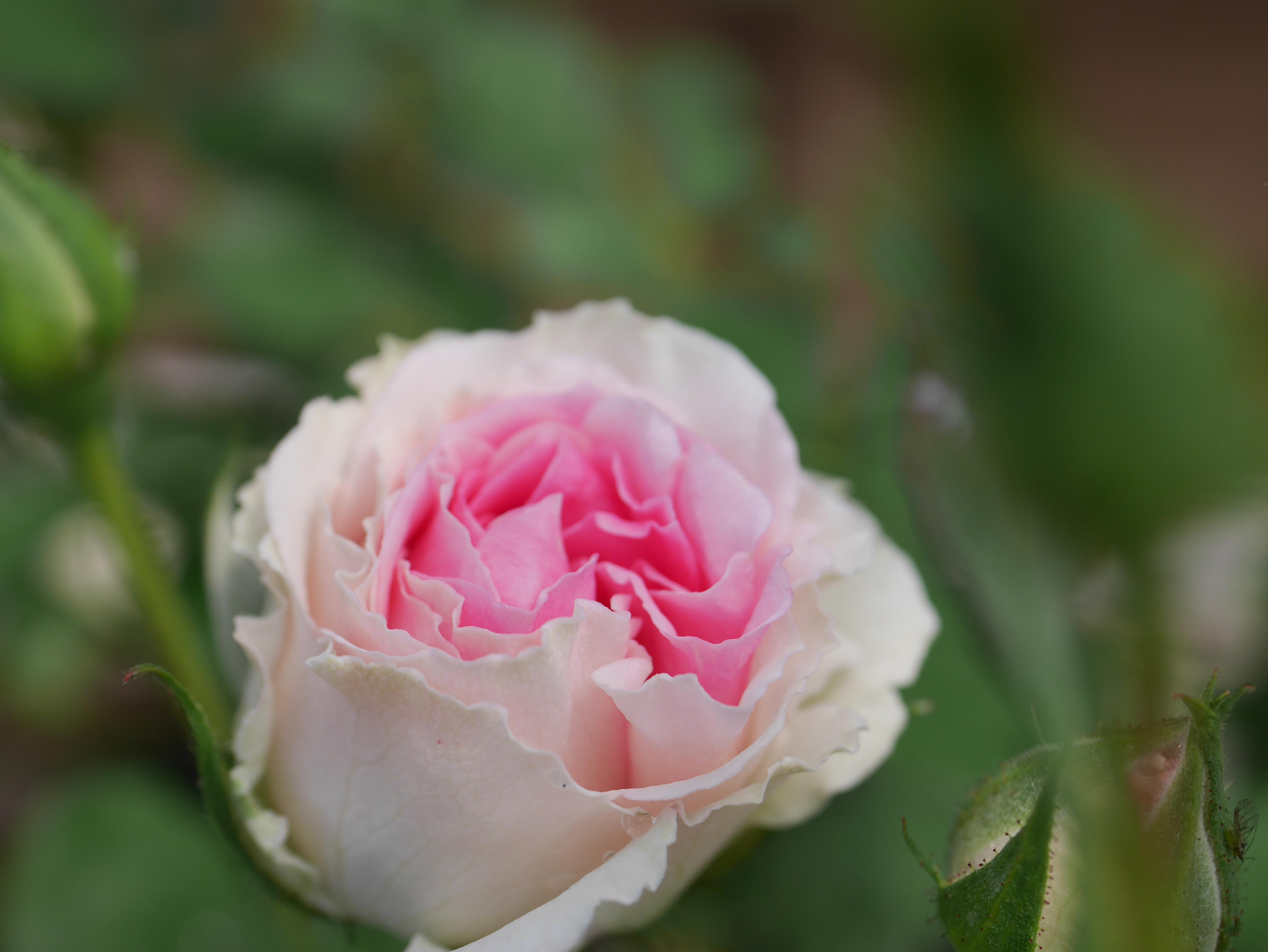 4分咲きの「ミミ・エデン」の花の中心部を写した。