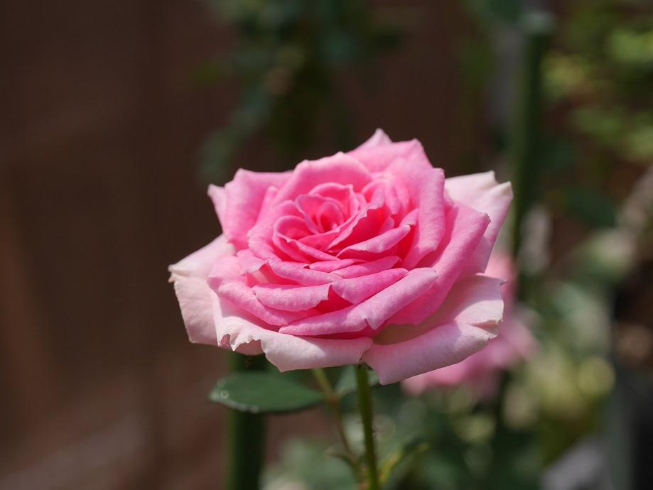 「ミミ・エデン」の10分咲きの花姿。