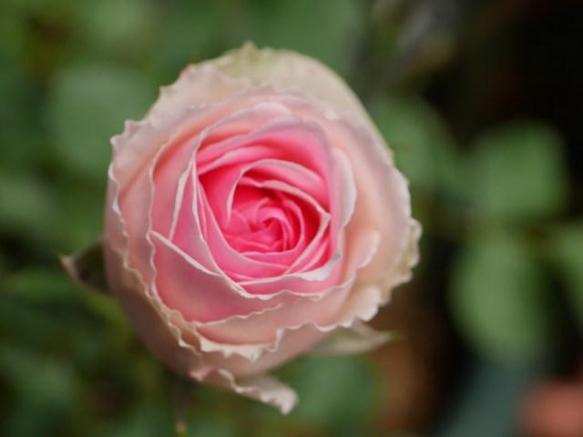 白バラ「ミミ・エデン」の8分咲きの花を正面から撮影した。