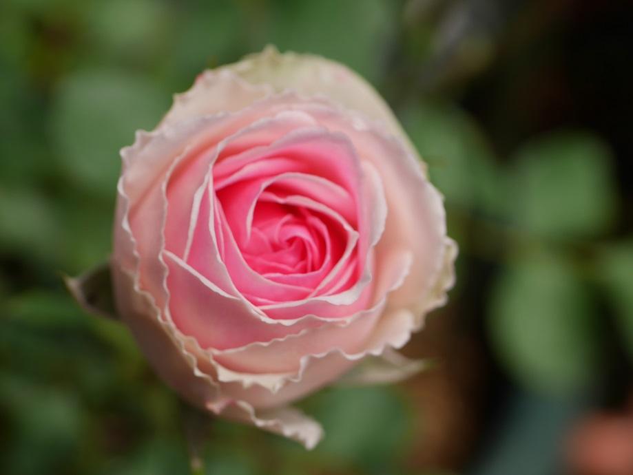 「ミミ・エデン」の8分咲きの花姿。