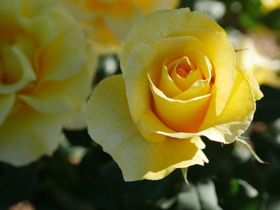 黄色いバラ「天津乙女」の花姿。[撮影者:花田昇崇]