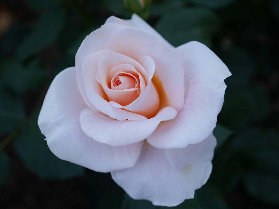 「琴音」の花姿。