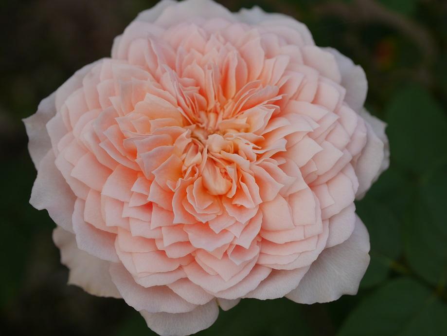ロマンティック・アンティークの9分咲き。