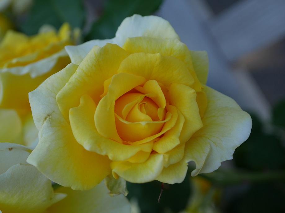 「ゴールド・バニー」の花姿。