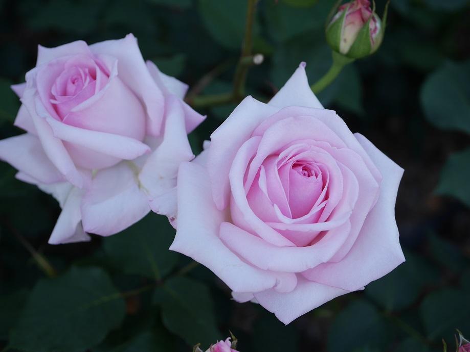 パールピンク色の「スィート・シャトー」の花姿