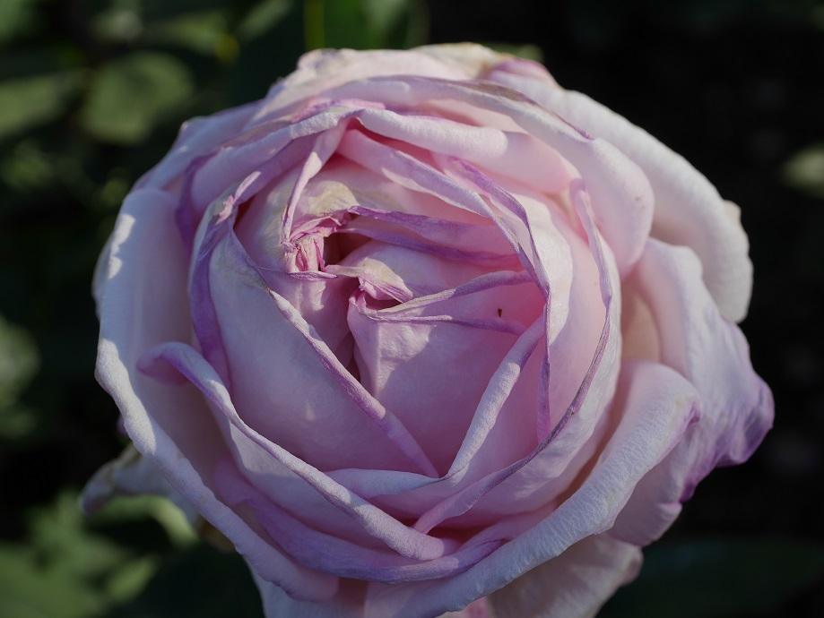 「テイニー・グレイス」の花姿。