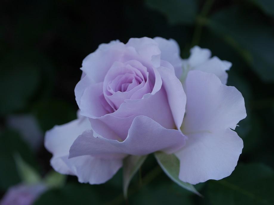 ライラック色のバラ「ニュー・ウェーブ」の開花姿。