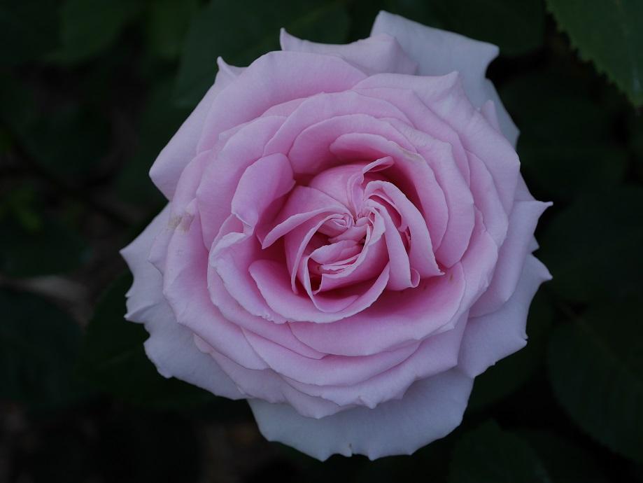 「フレデリック・ミストラル」の花姿。