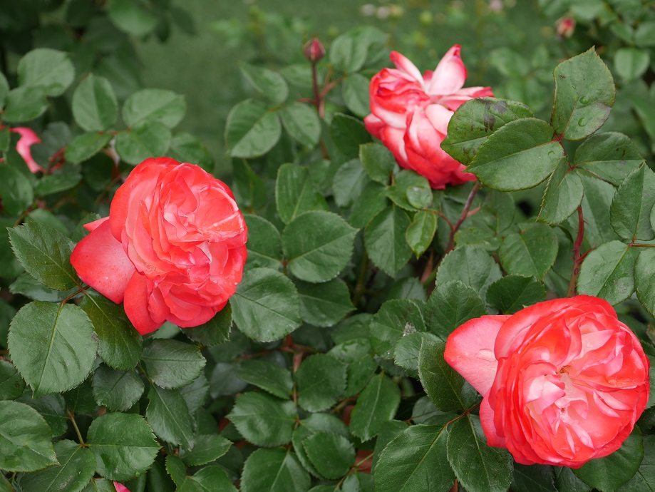 バラ「ノスタルジー」が写真手前に3輪と、写真後方につぼみが2輪写っている。