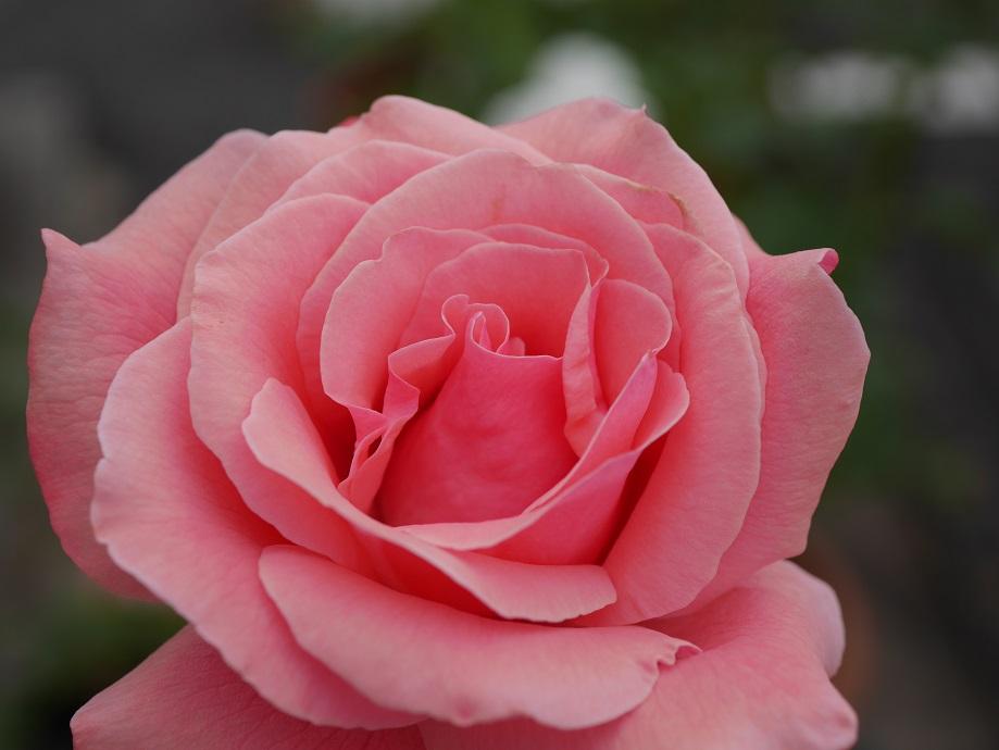 開花したバラ「クィーン・エリザベス」の拡大写真。