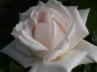 大輪系白バラ「エレーヌ・ジュグラリス」8分咲きの花姿。[撮影者:花田昇崇]
