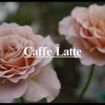 苦みと甘みが溶け込む花色まろやかなバラ[カフェ・ラテ]の栽培実感