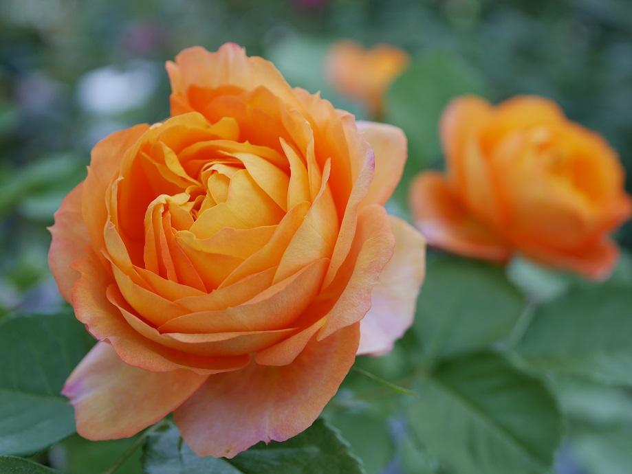 明るいオレンジ色の「ベビー・ロマンティカ」の8分咲きの花姿。