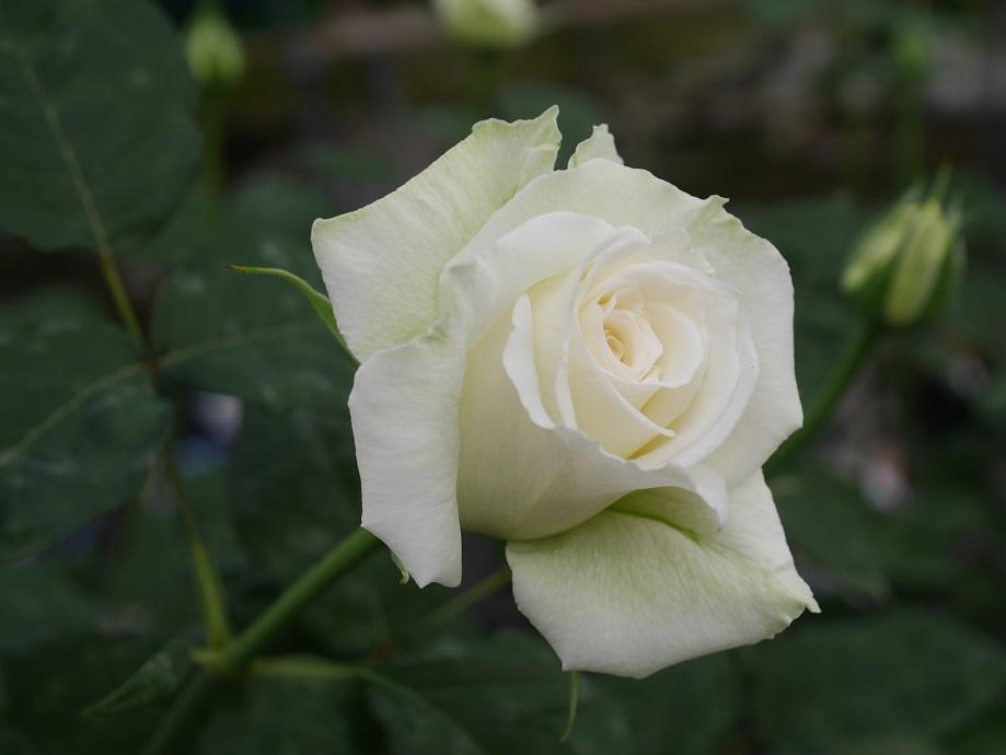 白地の外側に薄くグリーンがかすか混じる「ティネケ」の8分咲きの花姿。