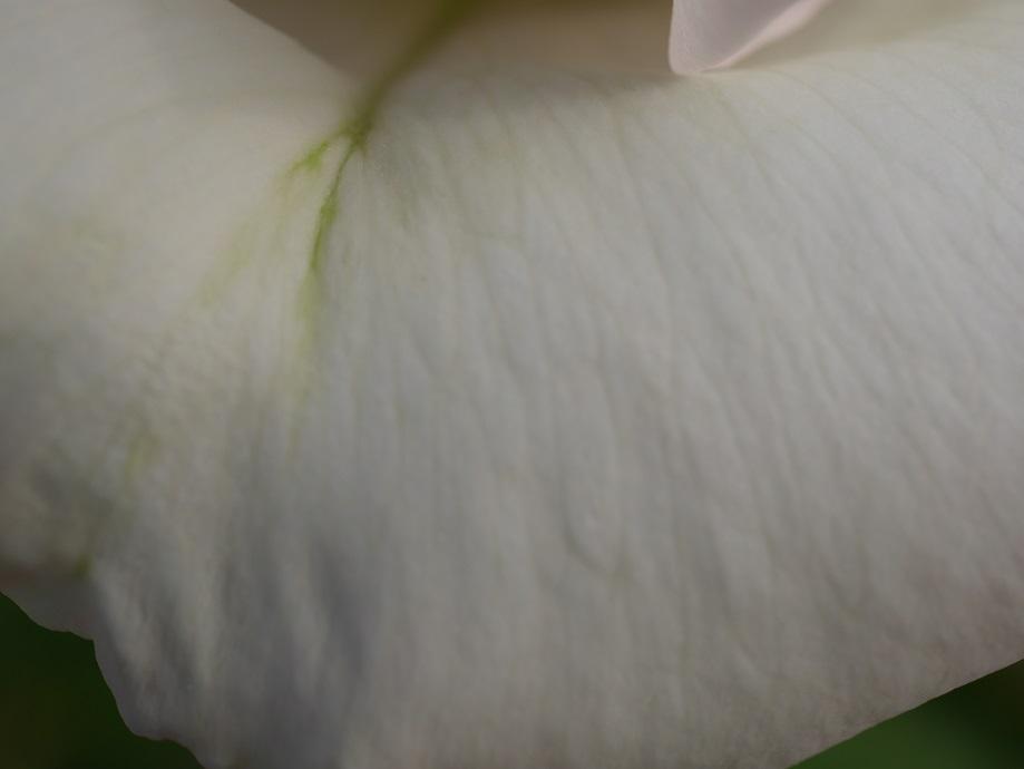 拡大した「エレーヌ・ジュグラリス」の花弁の繊維。