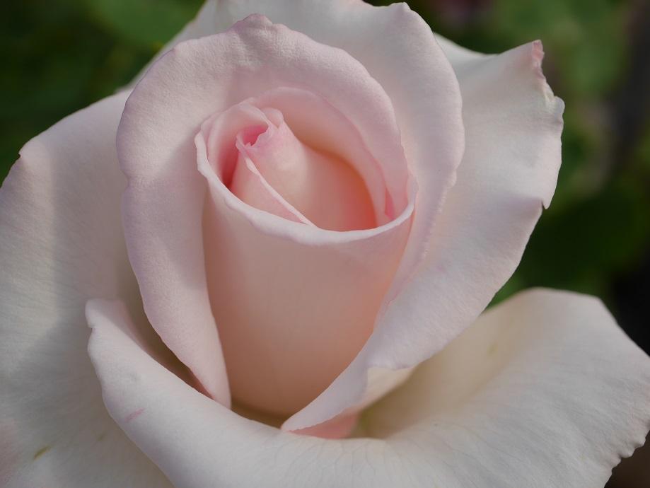 高芯咲きがわかる「エレーヌ・ジュグラリス」の花形。