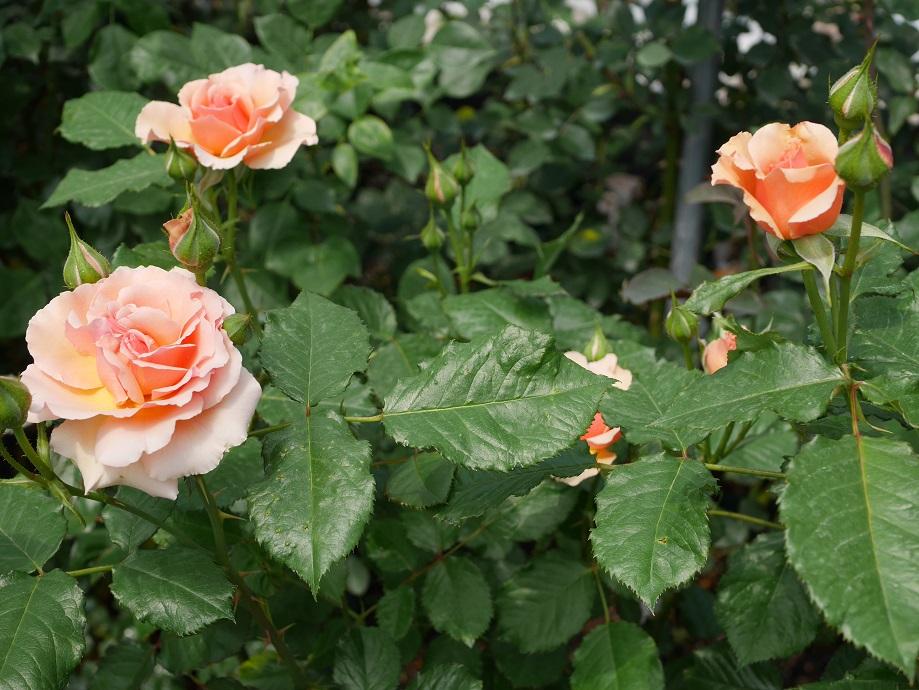 「フレグラント・アプリコット」の開花姿が4輪とつぼみが複数写っている。