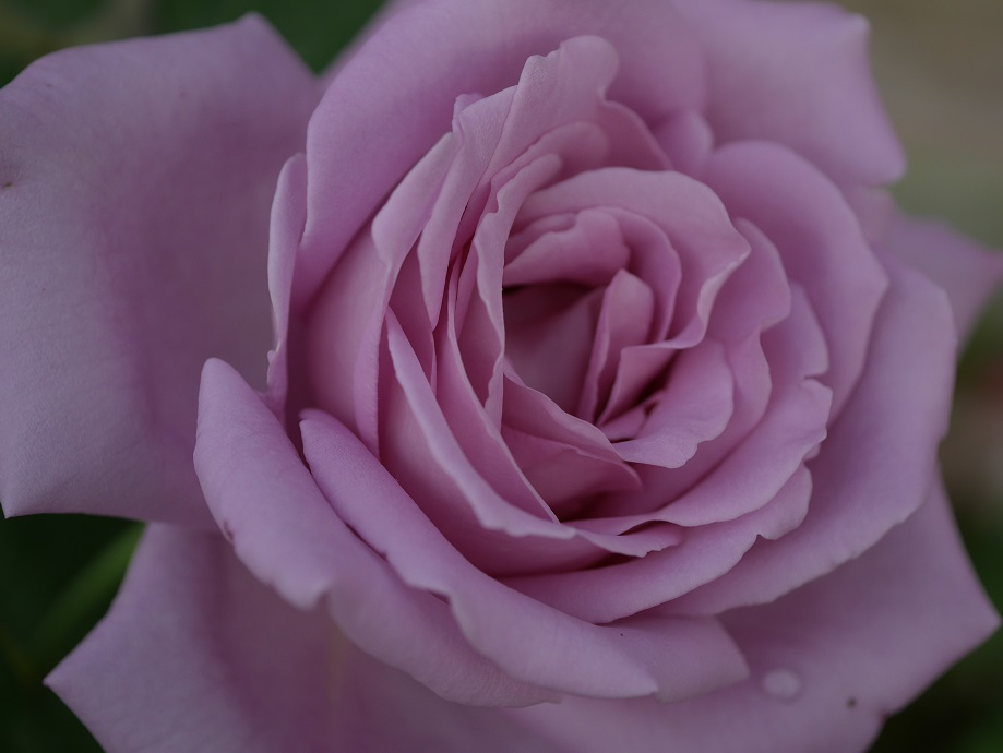 藤色のバラ「ブルー・ムーン」の花姿。その花芯の巻きを拡大した写真。