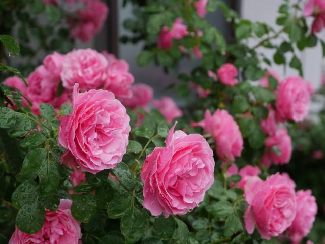 ローズ色のバラ「レオナルド・ダ・ビンチ」が画面いっぱいに咲き誇る花姿。20輪以上写っている。[撮影者:花田昇崇]