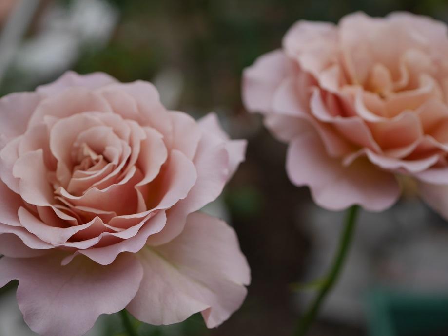 「カフェ・ラテ」の8分咲きの花姿。2輪写っている。[撮影者:花田昇崇]