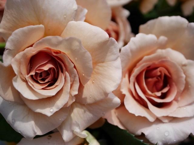 茶色のバラ「ジュリア」の8分咲きの花姿が2輪写っている。[撮影者:花田昇崇]