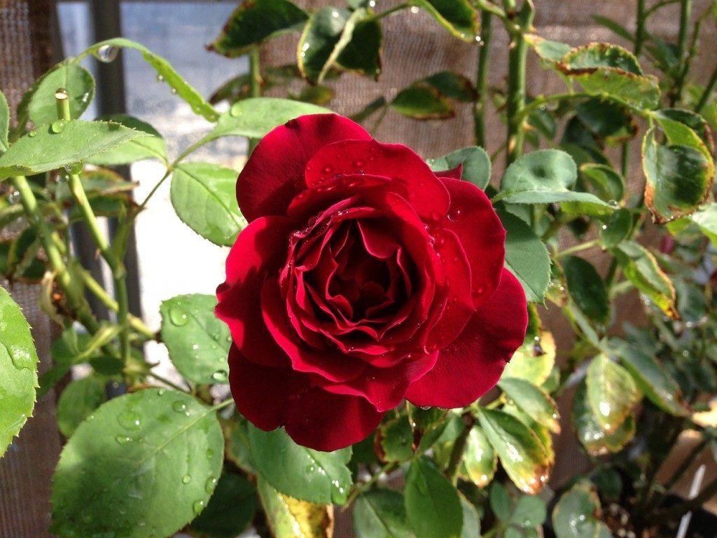 夏場は黒味が入った赤色になる「オデュッセイア」の花姿。