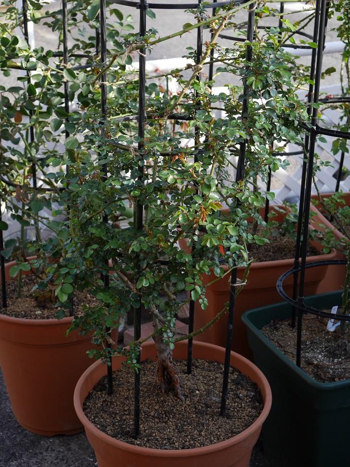 大鉢に植えた「レオナルド・ダ・ビンチ」