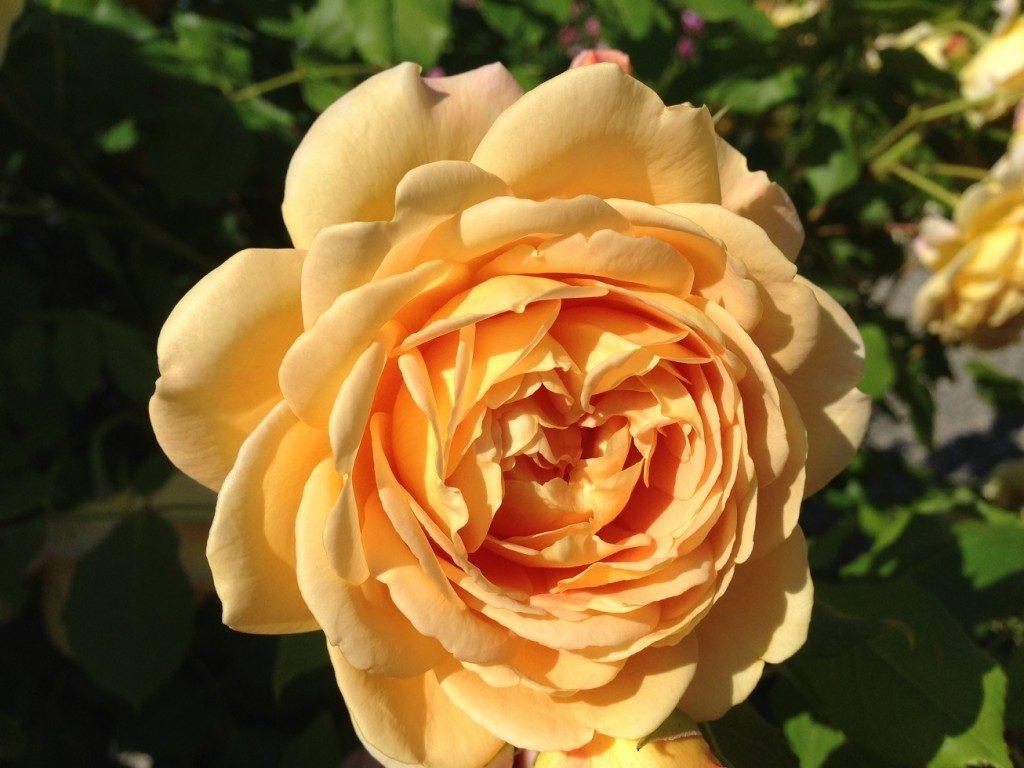 イングリッシュローズ「ゴールデン・セレブレーション」の満開の花姿。デビットーオースチン・ローゼズで撮影した。
