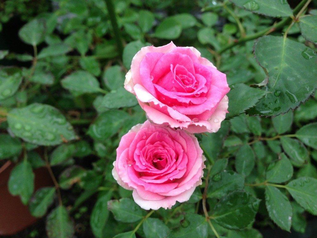 中心部がピンク色に染まった「ミミ・エデン」の9分咲きの花姿。