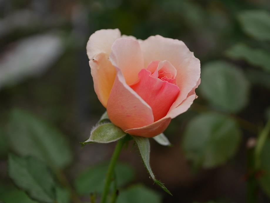 「フレグラント・アプリコット」の3分咲き。
