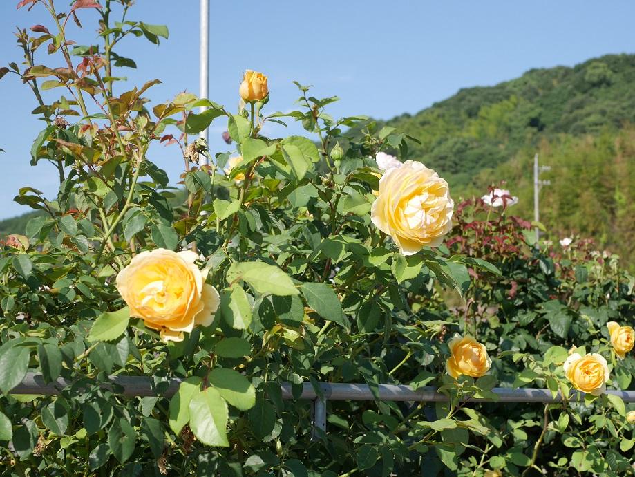 当ローズフェスタが運営するバラ農園の様子。イングリッシュローズ「グラハム・トーマス」が咲き誇っている。