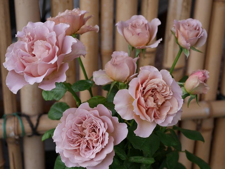 8輪の「カフェ・ラテ」の開花した花姿。