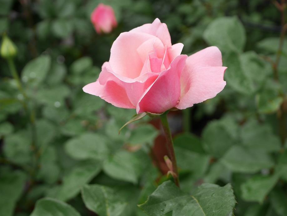 「クィーン・エリザベス」の5分咲きの花姿。