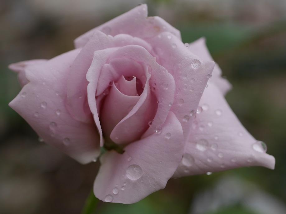 ブルー・ムーン」の7分咲きくらいの花姿[撮影者:花田昇崇]