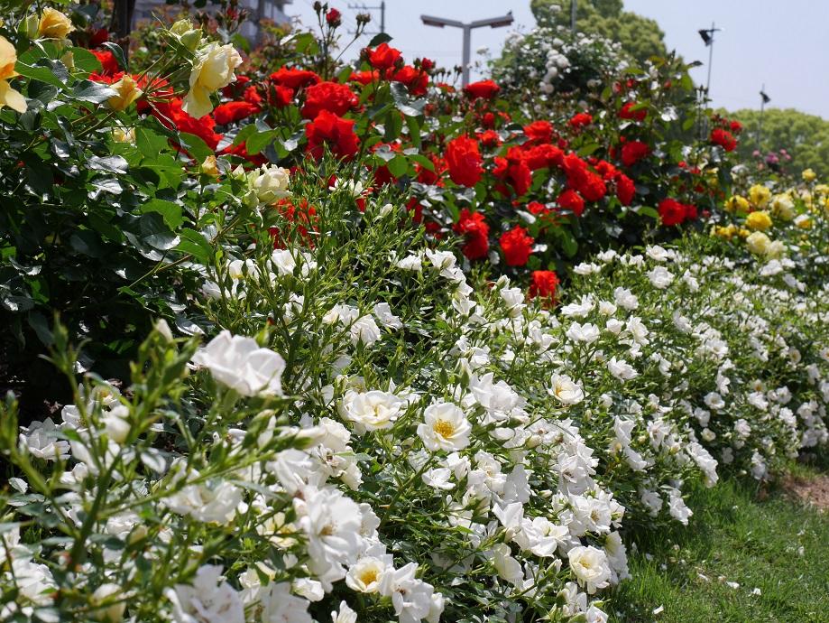 福山ばら公園で咲く満開の「ティアドロップ」を撮影した写真。