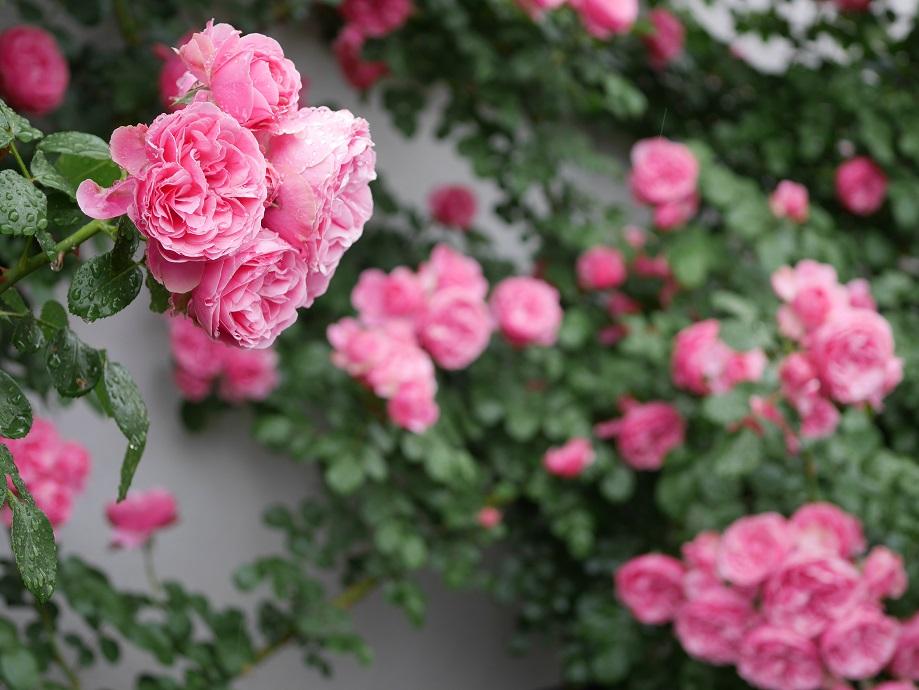 無数に開花した「レオナルド・ダ・ヴィンチ」のなかで4輪をフォーカスした写真。