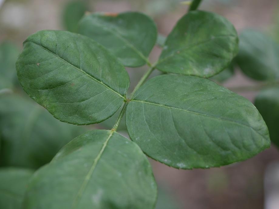 「カフェ・ラテ」の葉。