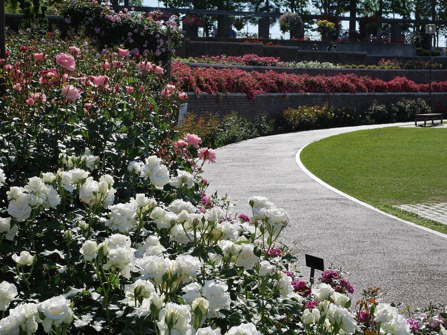 荒牧バラ公園の園内。バラの最盛期。