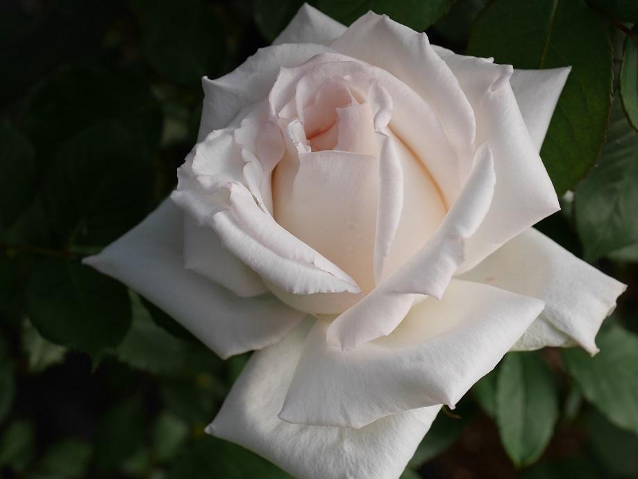 「エレーヌ・ジュグラリス」の7分咲きの花姿。