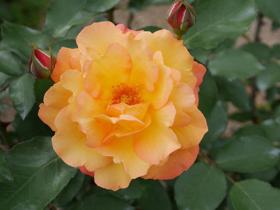 バラ「アンネの思い出」の9分咲きの美しい花姿。