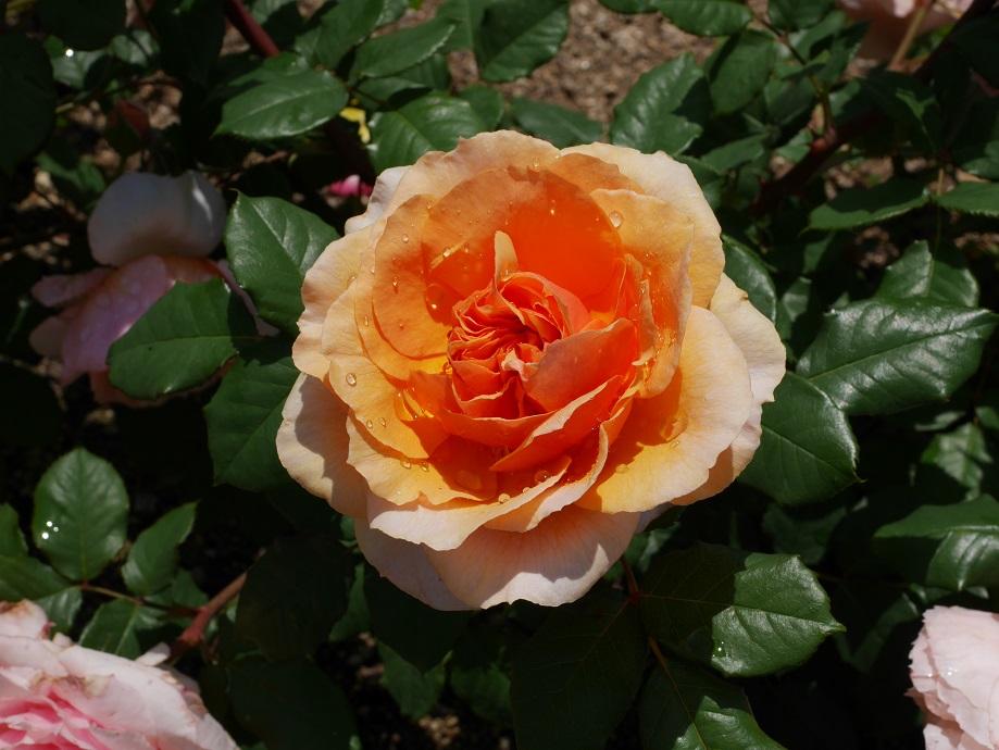 東日本大震災のチャリティーローズ「絆・KIZUNA」の8分咲きの美しい花姿。