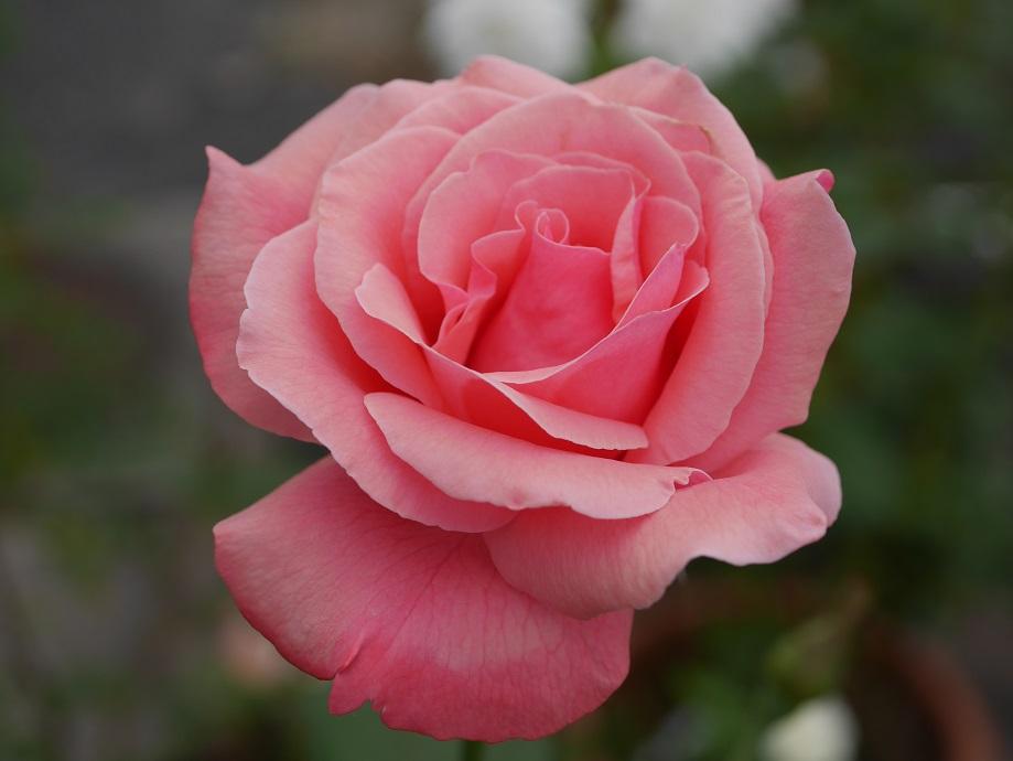 「クィーン・エリザベス」の8分咲きの花姿。