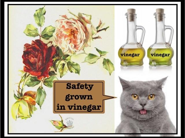 当サイトのコンテンツ「食酢はうどんこ病・ハダニ・窒素過多の解消に効能があります」のためのアイキャッチ画像