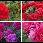 おススメの赤バラ|200種類以上から選んだお勧め品種